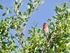 Punavarpunen (ville koponen) Tags: vanhankaupunginlahti varpunen punavarpunen