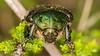 Tuijotus_6 (soukankamerat) Tags: soukankameratsyyskilpailu2016 heinola päijäthäme finland fi animalia arthropoda cetonia cetoniaaurata cetoniinae cetoniini coleoptera hexapoda insecta invertebrata polyphaga scarabaeidae scarabaeiformia scarabaeoidea eläinkunta erilaisruokaiset hyönteiset kovakuoriaiset kultakuoriainen kuusijalkaiset lehtisarviset niveljalkaiset selkärangattomat turilasmaiset