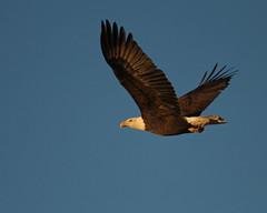 Bald Eagle 1159 (frank.kocsis1) Tags: baldeagle adult rockymountainarsenalnwr colorado coloradowildlife frankkocsis seealbumformorephotos