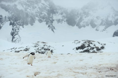 Wiencke Island (naturalturn) Tags: walk walker gentoo penguin base cliff mountain mountains snow portlockroy port lockroy postoffice wienckeisland palmerarchipelago antarctica image:rating=5 image:id=190733