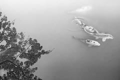 Koi Pond with Tree Reflection (Byron O'Neal) Tags: fish koi pond seattle monochrome blackandwhite japanese garden reflction washington