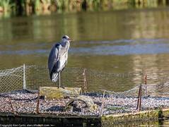 9Q6A8915 (2) (Alinbidford) Tags: alinbidford alancurtis brandonmarsh greyheron heron littlegrebe pochard blackheadedgull muteswan cormorant