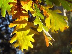 Chne de Hongrie.   Hungarian oak Quercus frainetto (alainpere407) Tags: alainpere paris parisinsolite feuille chne oak jardinduluxembourg automne autumn fall vivi