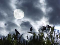 Blackbirds (Pilonga) Tags: lluna minvant pardals capvespre tripleexposure