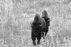 ROAM (Mono version) (DESPITE STRAIGHT LINES) Tags: nikon d800 nikond800 nikkor2470mm nikon2470mm nikongp1 paulwilliams despitestraightlines flickr gettyimages getty gettyimagesesp despitestraightlinesatgettyimages alaskahighway liardhotsprings canada britishcolumbia bison bisonherd woodbison americanbison bullwoodbison buffalo bisonbisonathabascae
