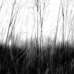 Marshland Grasses 040 (noahbw) Tags: d5000 dof middleforksavanna nikon abstract blackwhite blackandwhite blur bw depthoffield grass landscape marshland monochrome natural noahbw prairie square summer wetlands marshlandgrasses