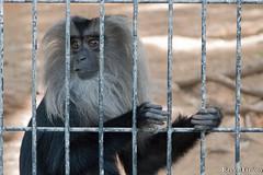 Behind Bars (Revital Etziony) Tags: canon760d canon bars monkey animal zoo safari sadness locked lonley jail imprisonment prison