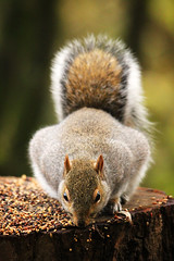 Squirrell feeding at Pennington Flash (Cathal Phelan) Tags: squirrel squirrels uk uknature ukwildlife nature wildlife canon sigma cathal cathalphelan phelan pennington penningtonflash
