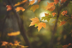 November (Tammy Schild) Tags: leaves foliage tree branch orange november autumn fall nature woods forest