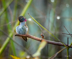 Self clean  (T.ye) Tags: annas hummingbird bird bokeh rain raindrop branches tree wild wildlife annimal western canada todd ye