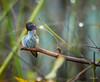 Self clean 梳理 (T.ye) Tags: annas hummingbird bird bokeh rain raindrop branches tree wild wildlife annimal western canada todd ye