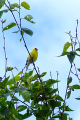 American Goldfinch (Delta Naturalists Casual Birding) Tags: 201619 dncb colony dncblocation dncboutingid