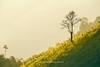 Y0031+33.1116.Vân Hồ.Mộc Châu.Sơn La. (hoanglongphoto) Tags: asia asian vietnam northvietnam northwestvietnam outdoor afternoon nature landscape scenery vietnamlandscape vietnamnature vietnamscene vietnamscenery tree plant hill treehill hillside hdr canon canoneos1dx tâybắc sơnla mộcchâu ngoàitrời thiênnhiên phongcảnh buổichiều hoànghôn thựcvật cây ngọnđồi sườnđồi vânhồ sunlight sunny sunnyafternoon nắng nắngchiều mist sươngmù canonef200mmf28liiusm2xiii
