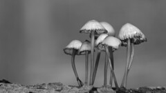 little family (GOLDFOCUS) Tags: goldfocus germany great giant golddragon geringeschrfentiefe verfgbareslicht blackandwhite bw bokeh thebeautyofbokeh dof availablelight aufgabe autofocus alt ausflug mushroom pilz pilze schrfentiefe schwarzweiss schwarz schwarzweis sexy sw black blass forrest wald nophotoshop noiretblanc monochrome mono makro macromondays monday natur nature natural reflections reflektion reflection trees tree eos ef eos60d entsttigt 28135 extensiontube einsam exkursion exposure extension 28135mm fantastic autumn herbst projekt2016 projekt2016november