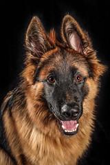 Bodyguard in Training   [Explored #458] (Blindside_half) Tags: canon 5dmarkii einstein strobe alienbee dog germanshepherd gsd rescue 2470mmf28l puppy