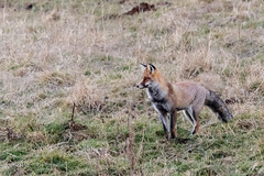 Renard roux en chasse  la tombe de la nuit (sfrancois73) Tags: mammifre renardroux faune