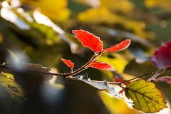 Autumn Leaves (Lars rstavik) Tags: autumn leaves tree flora plant foliage bright outdoor depthoffield rsta sunnmre norway autumnleaves