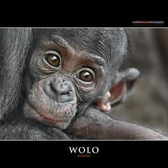 WOLO (Matthias Besant) Tags: affe affen affenfell animal animals ape apes pygmychimpanzee fell zwergschimpanse hominidae hominoidea mammal mammals menschenaffen menschenartig menschenartige monkey monkeys primat primaten saeugetier saeugetiere tier tiere trockennasenaffe bonobo schauen blick blicken augen eyes look looking baby bashira wolo bonobobaby child kind zoo zoofrankfurt matthiasbesant hessen deutschland