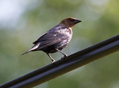 Brown-headed Cowbird-1b-06-13 (Robin's Bird Scrapbook) Tags: brownheadedcowbird