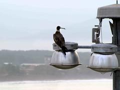 Frigate Bird (saxonfenken) Tags: bird lift lamps frigatebird blckandwhite onecolour largebird 7067 tintsandtones pregamewinner 7067bird