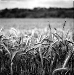 Wheat (BG Sixtyniner) Tags: bw 120 film analog canon mediumformat hasselblad roll mf canoscan cf 1100 planar 2880mm 500cm carlzeiss efke25 agfarodinal standdeveloping 9000f