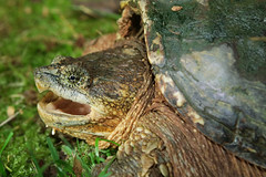 Snapping Turtle (kaptainkory) Tags: usa ar head snapping turtle reptile unitedstatesofamerica defensive defense herp gaping chelonia reptilia herptile testudines turtlechelydraserpentina