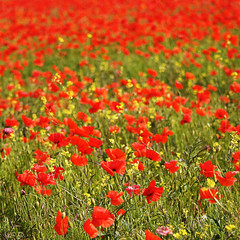 Poppy Field II. (aimz_durrant) Tags: red color colour photography aperture bokeh sony poppy poppies slt a35 poppyfield sonyslta35 sonya35