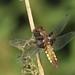 Broad-bodied libellulachaser (Libellula depressa)