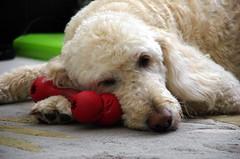Taking a Rest (macclicker2012) Tags: dog rest bone goldendoodle