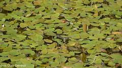Anax Imperator  (Liblula poniendo huevos) (Luis Diaz Devesa) Tags: blue espaa macro green nature closeup bug insect fly wings spain europa dragonfly insects galicia galiza liblula pontevedra illadearousa isladearosa luisdiazdevesa
