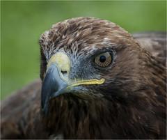 Raptor #6 (Clive1945) Tags: bird beak feather raptor birdofprey harrishawk flickrific d5000 diamondclassphotographer flickrdiamond