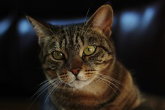 Jackie. (Owen Schooley) Tags: pet cats pets cute beautiful animal animals cat canon fur 50mm golden eyes furry nikon gorgeous adorable kitty ears kittens whiskers whisker nikkor f18 markings 2013 golen