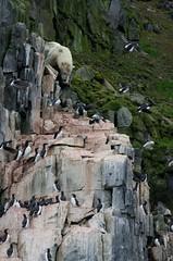 Polar Bear (David Nunn) Tags: ocean bear sea cliff ice birds circle cliffs svalbard arctic polarbear polar spitsbergen spitzbergen murre thickbilled uria thickbilledmurre urialomvia alkefjellet brunnichsguillemot lomviaguillemot brunnichs