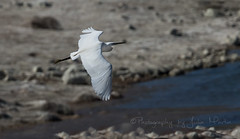 Little Egret (Julia-still away! catching up) Tags: white whitebird littleegret flyingegret canon5dmarkiii photographybyjuliamartin