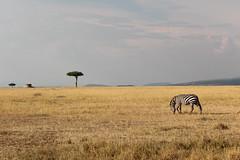 IMG_4239.jpg (rbariletto) Tags: africa trees tree animal animals landscape zebra zebras masaimara