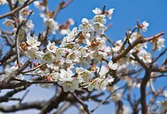 _DSC4696b (aeschylus18917) Tags: flower macro nature station japan   kuji daigo ibarakiken   ibarakiprefecture  kamiogawa danielruyle aeschylus18917 danruyle druyle daigomachi   kujigun    kujidistrict