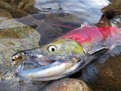 Kokanee Salmon (benjaminfish) Tags: california lake creek october salmon tahoe taylor kokanee 2013