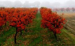 Autunno nel frutteto (raffaphoto) Tags: november autumn trees red fog alberi orchard nebbia autunno rosso emiliaromagna faenza frutteto novembre2013