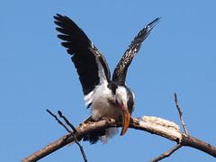 WInding Up (Martial Mike) Tags: botswana hornbill yellowbilledhornbill francistown tockusflavirostris tachilanaturereserve