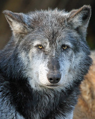 Timber Wolf (Buggers1962) Tags: portrait nature face animal closeup canon zoo eyes wolf close wildlife colchester colchesterzoo whitewolf timberwolf greatphotographers itsazoooutthere canon7d wolfpicture highqualityanimals