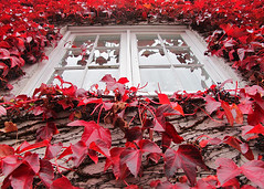 Framed in Red (manxmaid2000) Tags: city uk red england reflection english window nature glass up leaves wall leaf framed ivy oxford frame creeper windowframe