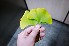 ginko (Benzadrine) Tags: nyc color green fall leaves brooklyn flora elevator deep saturation kermit ginko polaroid690 filmsimulation vsco