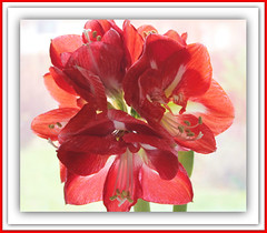 Festive Red (bigbrowneyez) Tags: light red colour beautiful beauty bright blossom sweet gorgeous amaryllis frame stunning colourful delicate striking contrasts cornice bello bellissimi vision:text=0658 vision:outdoor=0626 festivered