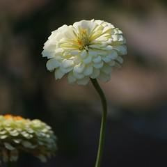 ไปฟาร์ม 10 เวลานี้ของปีที่แล้วดอกไม้เคยสวย มาปีนี้เตียนเลย เหลือติดพอให้เก็บมาเป็นที่ระลึกไม่กี่รูป...