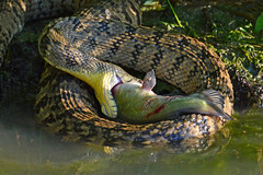 That's not a Meal. This is a Meal. (NaturalLight) Tags: water snake catfish kansas wichita diamondback bullhead chisholmcreekpark