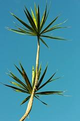Palm (LarryJay99 ) Tags: blue sky plant leaves stem sunny westpalmbeach palm canonefs60mmf28macrousm greenzz ilobsterit