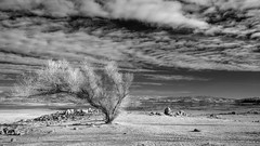 2014-009 - dry folsom (Robert Couse-Baker) Tags: tree water dry drought infrared folsomlake winter201314 3652014