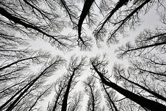 LOZA-Ibilaldia-01 (ikimilikili-klik) Tags: bw tree contraluz noiretblanc rbol euskalherria basquecountry navarre navarra zuhaitza nafarroa loza d700 nikond700 2470mmf28g nikkor2470mm