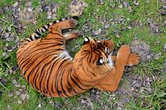 ...watching you... (HervelineG) Tags: cool feline tigre félin malayantiger pantheratigrisjacksoni d7000 tigredemalaisie parcdefélins