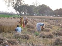 Kisan_Wheat_harvesting_2